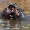 hippo-3.jpg