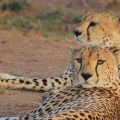 6- Cheetah