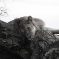 2 - Lion sleeping in a tree