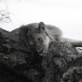 2 - Lion sleeping in a tree
