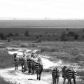 5 - Plains Zebra