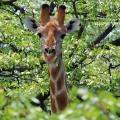 giraff-3.jpg