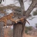 tree-lion_0.jpg