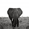 1 - African Bush Elephant